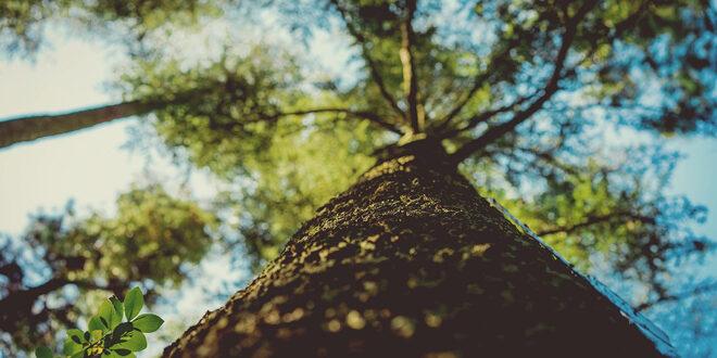 Το ψηλότερο δέντρο της Αφρικής