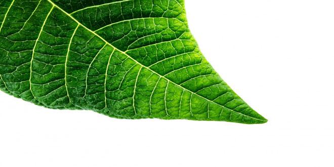 Αύξηση της φωτοσυνθετικής ικανότητας των φυτών μέσω γενετικών τροποποιήσεων
