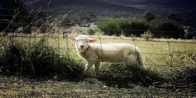 Όλο το ποσό της έκτακτης στήριξης σε κτηνοτρόφους των νησιών του Αιγαίου