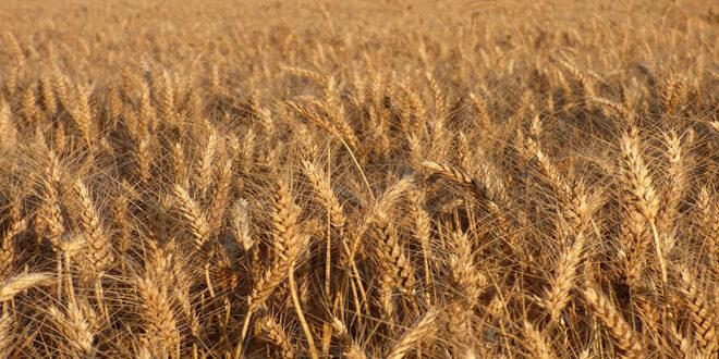 Στα 8,1 €/στρ. η συνδεδεμένη ενίσχυση στο σκληρό σιτάρι