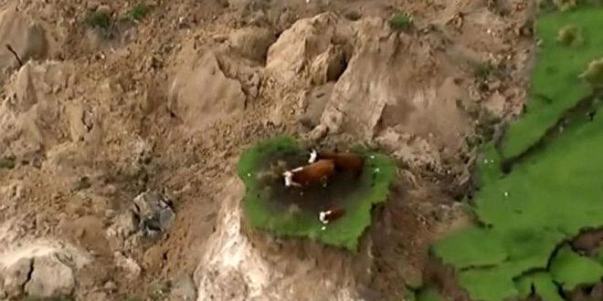 Νέα Ζηλανδία: Αγελάδες…έχασαν τη γη κάτω από τα πόδια τους
