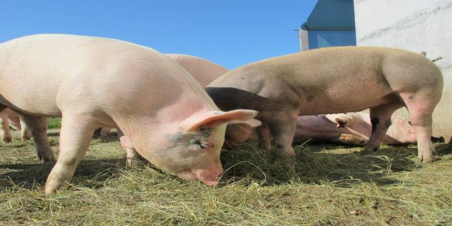 Γενετικά τροποποιημένα γουρούνια για την προστασία του περιβάλλοντος;!