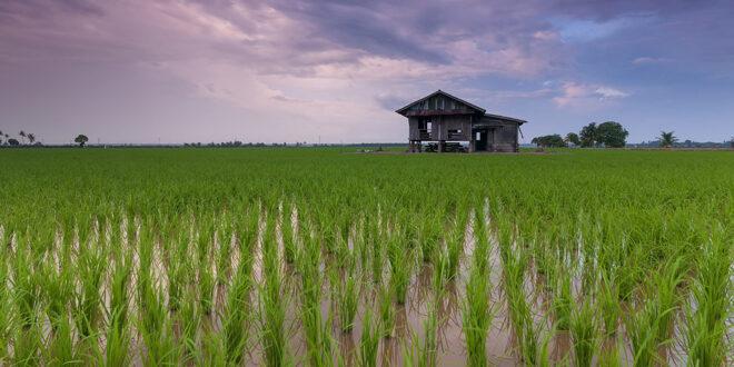 Υψηλότερα ποσοστά διοξειδίου του άνθρακα – Χαμηλότερη θρεπτική αξία του ρυζιού