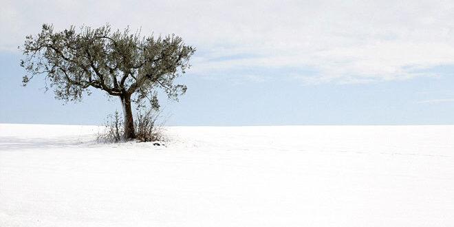 Ζημιές σε ελαιόδεντρα από τα χιόνια – Οδηγίες προς ελαιοπαραγωγούς