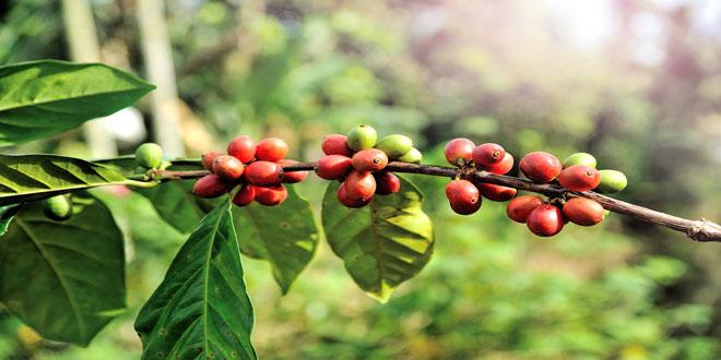 Εξαιρετικά υψηλό το ποσοστό των ειδών καφέ που απειλείται με εξαφάνιση