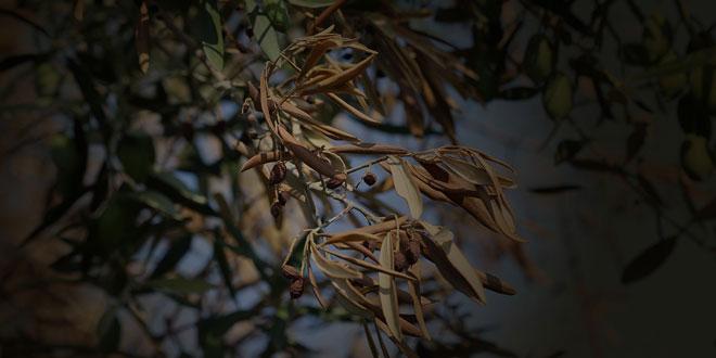 Βερτισιλλίωση: Η σοβαρότερη ασθένεια της ελιάς – Προσοχή στη συγκαλλιέργεια