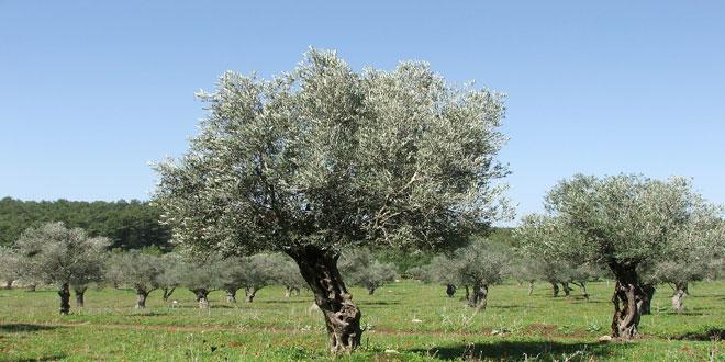 Χαμηλές θερμοκρασίες και καρκίνωση της ελιάς – Πότε να κλαδευτούν τα ζημιωμένα δέντρα