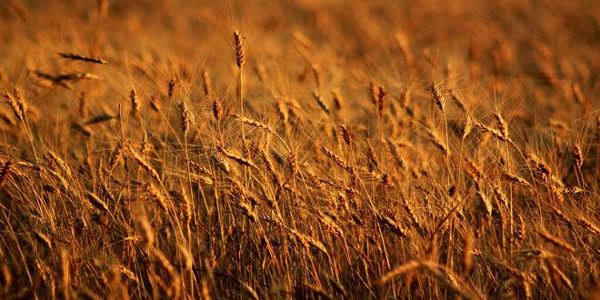Σημαντικές αλλαγές στη συνδεδεμένη ενίσχυση του σκληρού σιταριού