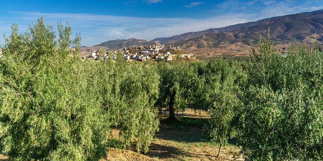 Κυκλοκόνιο της ελιάς: Αραίωμα του φυλλώματος στα πυκνά δένδρα