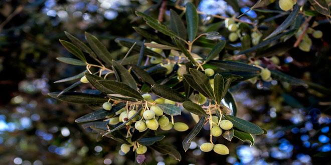 Κερκόσπορα και κυκλοκόνιο σε ελαιόδεντρα: Εντοπίστε τα συμπτώματα στα παλιότερα φύλλα