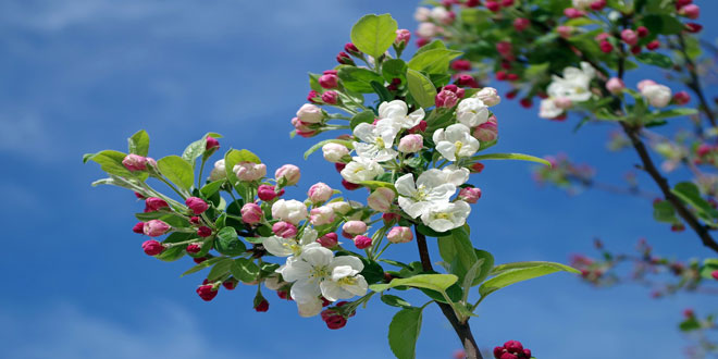 Ανθονόμος μηλιάς: Σε ποιους οπωρώνες να εφαρμόζονται ψεκασμοί