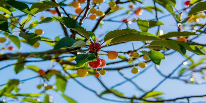Μύγα κερασιάς – Δροσόφιλα: Τα καλλιεργητικά μέτρα για την προληπτική αντιμετώπισή τους