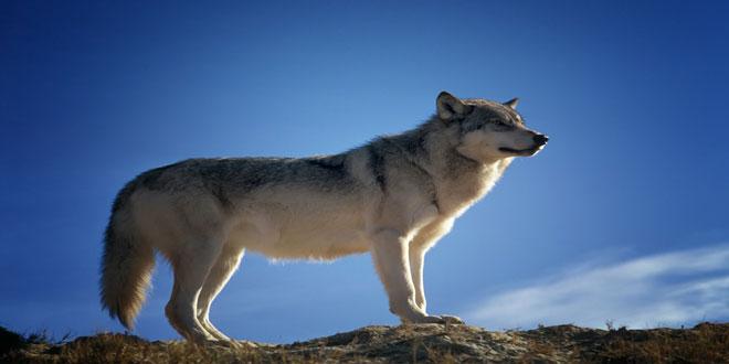 Δανία: Επιστροφή λύκων μετά από 200 χρόνια