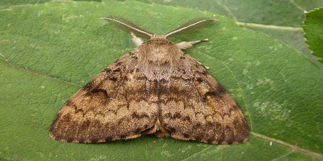 Λυμάντρια: Το έντομο που προσβάλλει περισσότερα από 600 είδη φυτών