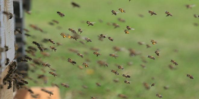 Τα νεονικοτινοειδή φυτοφάρμακα αποπροσανατολίζουν τις μέλισσες
