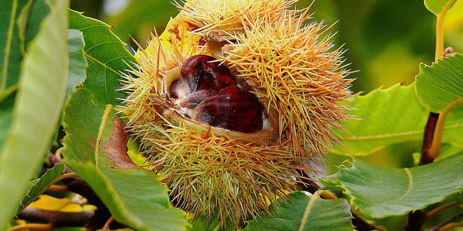 Το σκουλήκι των νεαρών κάστανων: Σε ποιες καστανιές να εφαρμόζονται ψεκασμοί
