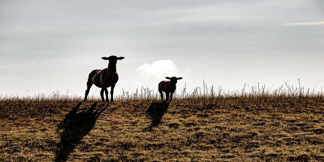 Εστίες ευλογιάς σε αιγοπρόβατα στην Τουρκία – Μέτρα βιοασφάλειας