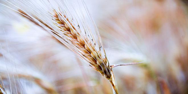 Μειωμένη κατά ένα ευρώ το στρέμμα η συνδεδεμένη στο σκληρό σιτάρι