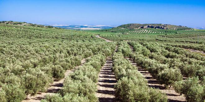 Ισπανία: Πρόβλεψη της εξέλιξης των παρασίτων στα ελαιόδεντρα με τεχνικές τεχνητής νοημοσύνης