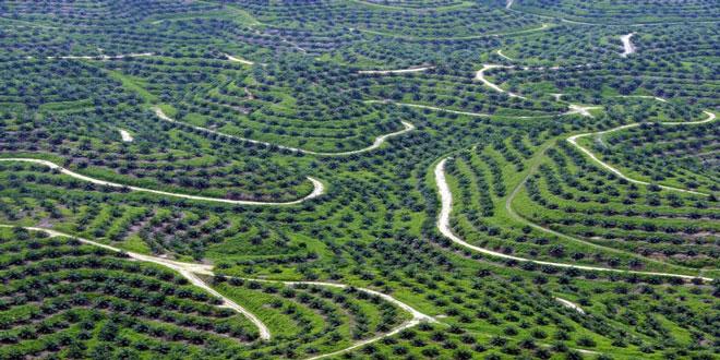 Ινδονησία: Αντικατάσταση των παλαιών φυτειών φοινικέλαιου με νέες για την αύξηση της παραγωγής