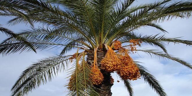 Αλγερία: Σε υψηλά επίπεδα οι τιμές των φρούτων – 2ο εξαγωγικό προϊόν οι χουρμάδες
