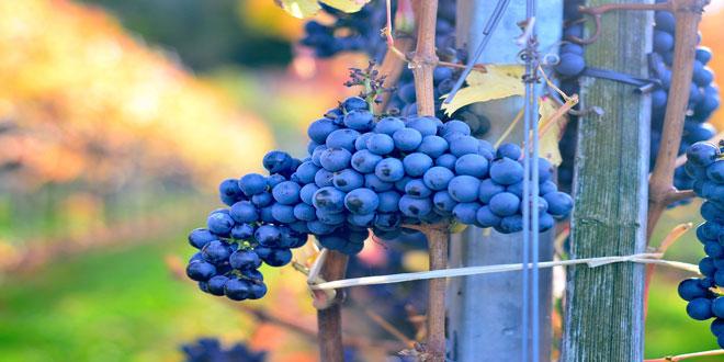 Σε ιστορικά χαμηλά επίπεδα η παγκόσμια παραγωγή οίνου