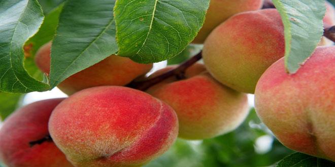 Ροδακινιά: Τα καλλιεργητικά μέτρα για την αντιμετώπιση των μυκητολογικών ασθενειών