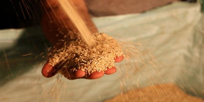 Εσπερίδα: Δυνατότητες και προοπτικές της καλλιέργειας του σουσαμιού