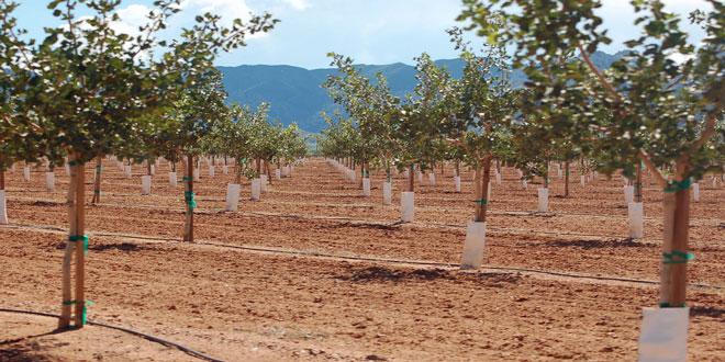 Φιστικιά: Τι να προσέξουμε πριν και μετά τη φύτευση νέων δένδρων