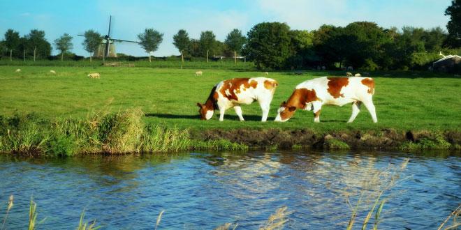 Ολλανδία: 1,7 εκατ. αγελάδες γαλακτοπαραγωγής σε 17.890 αγροκτήματα