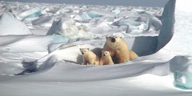 Οι πολικές αρκούδες λιμοκτονούν