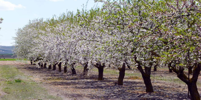 Φυτόφθορα – Αμυγδαλιά: Καλλιεργητικά μέτρα για την προστασία του κορμού