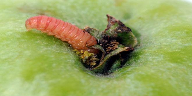 Καρπόκαψα – Μηλιά: Το πιο διαδεδομένο καρποφάγο έντομο των μηλοειδών