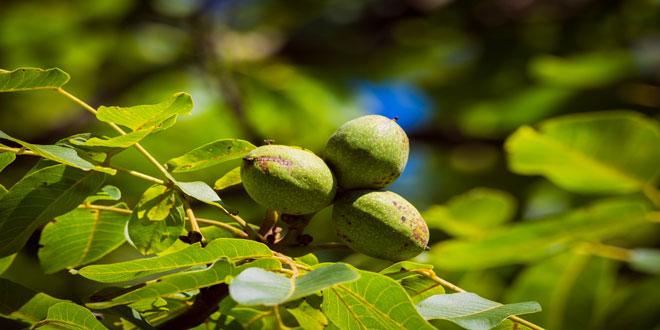 Φυτόφθορα – Καρυδιά: Τα μέτρα πριν και μετά την εμφάνιση της ασθένειας