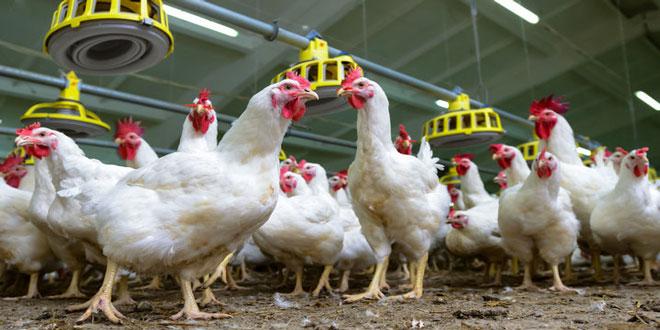 Γαλλία: Η αύξηση της κατανάλωσης απειλεί την αυτάρκεια της αγοράς πουλερικών