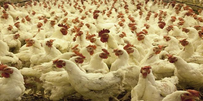 Οι χώρες με τη μεγαλύτερη παραγωγή κοτόπουλου στην Ε.Ε.