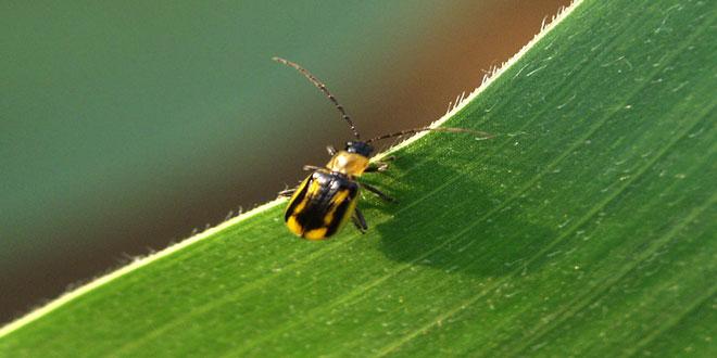 Αραβόσιτος: Χωρίς προβλήματα από το έντομο Διαβρώτικα – Απαραίτητη η αμειψισπορά