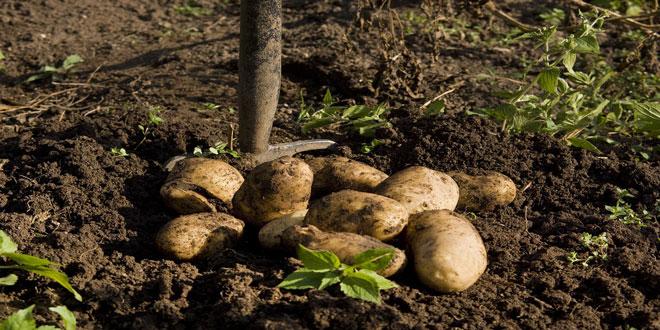 Περονόσπορος στην πατάτα: Οχι στη συγκομιδή μετά από βροχή