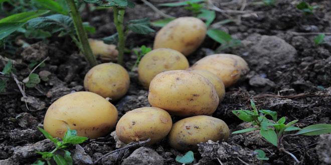 Φθοριμαία – Πατάτα: Εντονότερα τα προβλήματα σε απότιστα χωράφια – Τα καλλιεργητικά μέτρα