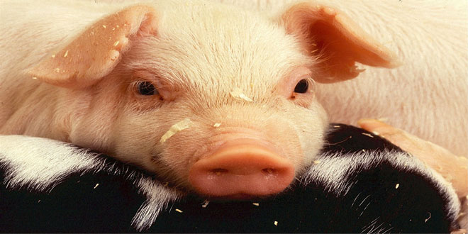 Αφρικανική πανώλη: Απαγόρευση εισαγωγών βελγικού χοιρινού κρέατος από έξι χώρες