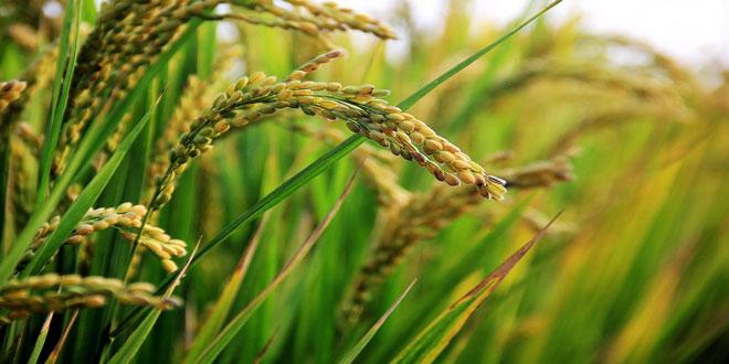 1ο Πανελλήνιο Συνέδριο Ρυζιού – Το Ρύζι είναι η Ζωή μας