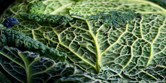 Αυστραλία: Λάχανο – γίγας σε βιολογική καλλιέργεια
