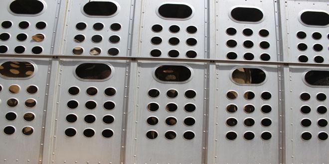 Μεταφερόμενα ζώα: Τήρηση των κανόνων και αυστηρότερα μέτρα ζητά η Ευρωβουλή
