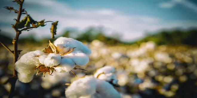 Αίγυπτος: Μεγάλη μείωση των καλλιεργήσιμων εκτάσεων βάμβακος το 2019