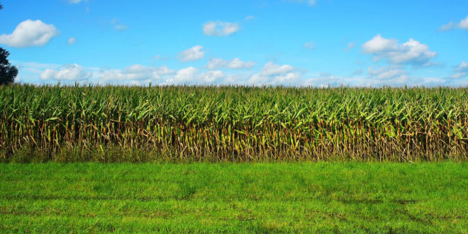 Ρουμανία: Πρωταθλήτρια στην παραγωγή καλαμποκιού – Αύξηση της ζήτησης βιολογικών και ελαιολάδου