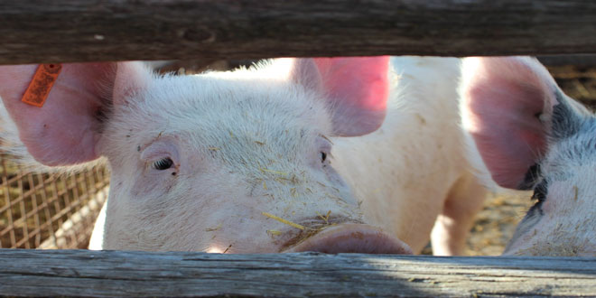 Ρωσία: Εκτόξευση της παραγωγής χοιρινού κρέατος
