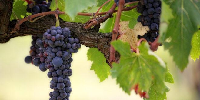 Συρρίκνωση της παγκόσμιας παραγωγής οίνου – Αναλυτικά στοιχεία για όλες τις χώρες