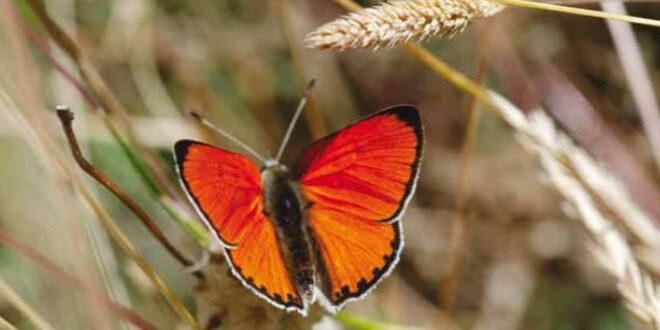 Οι πεταλούδες του Πάρνωνα