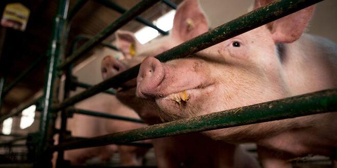 Τη σταδιακή κατάργηση των κλουβιών στην κτηνοτροφία ζητά το Ευρωκοινοβούλιο